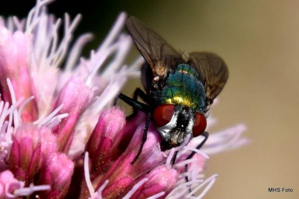 MHS paarse bloem met vlieg